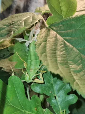 moulting leaf insect