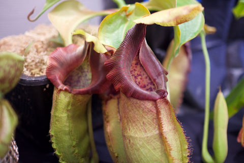Nepenthes spathulata x robcantleyi