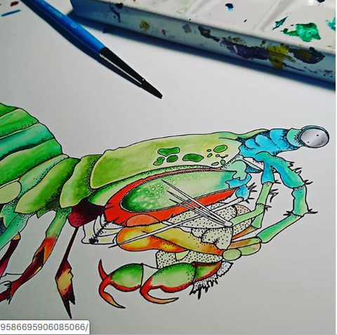 peacock mantis shrimp art
