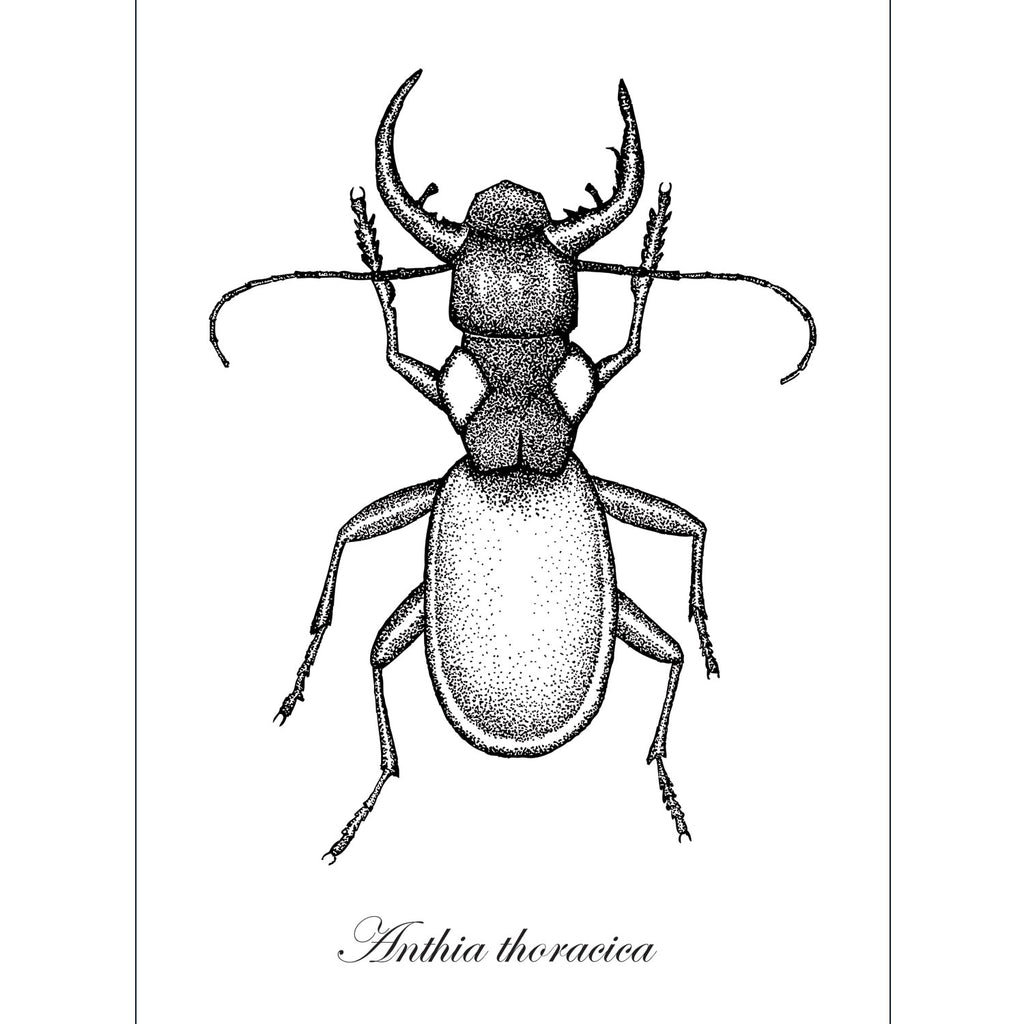 Anthia thoracica Beetle Art Print