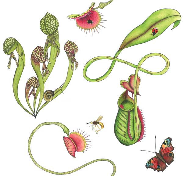 Carnivorous plants wallpaper featuring illustrations of venus fly traps and pitcher plants in colour on a white background for a unique botanical wallpaper