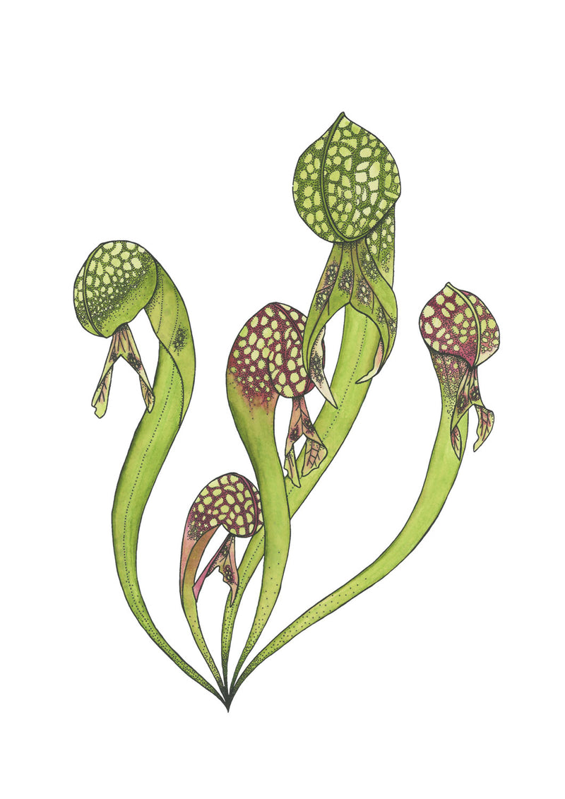 Cobra Lily Original Illustration - Colour