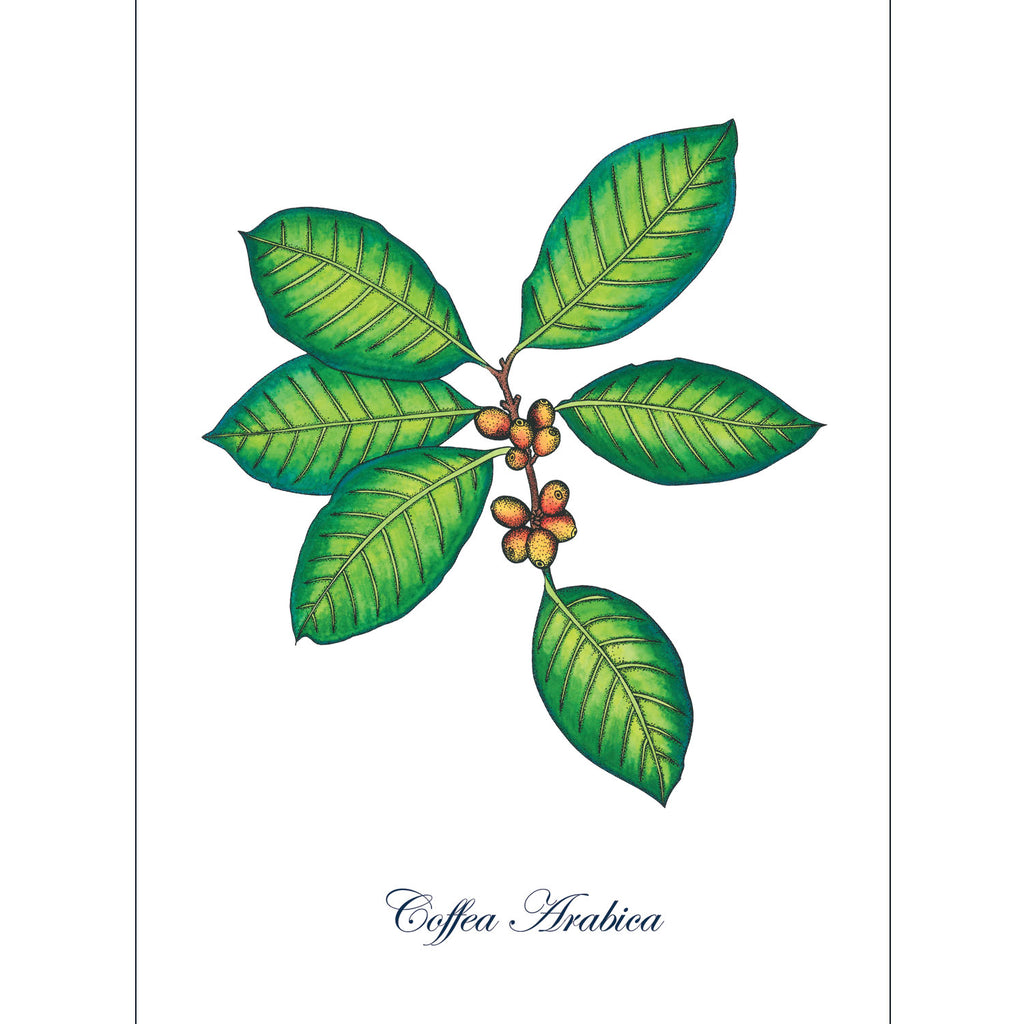 Coffee Plant Art Print