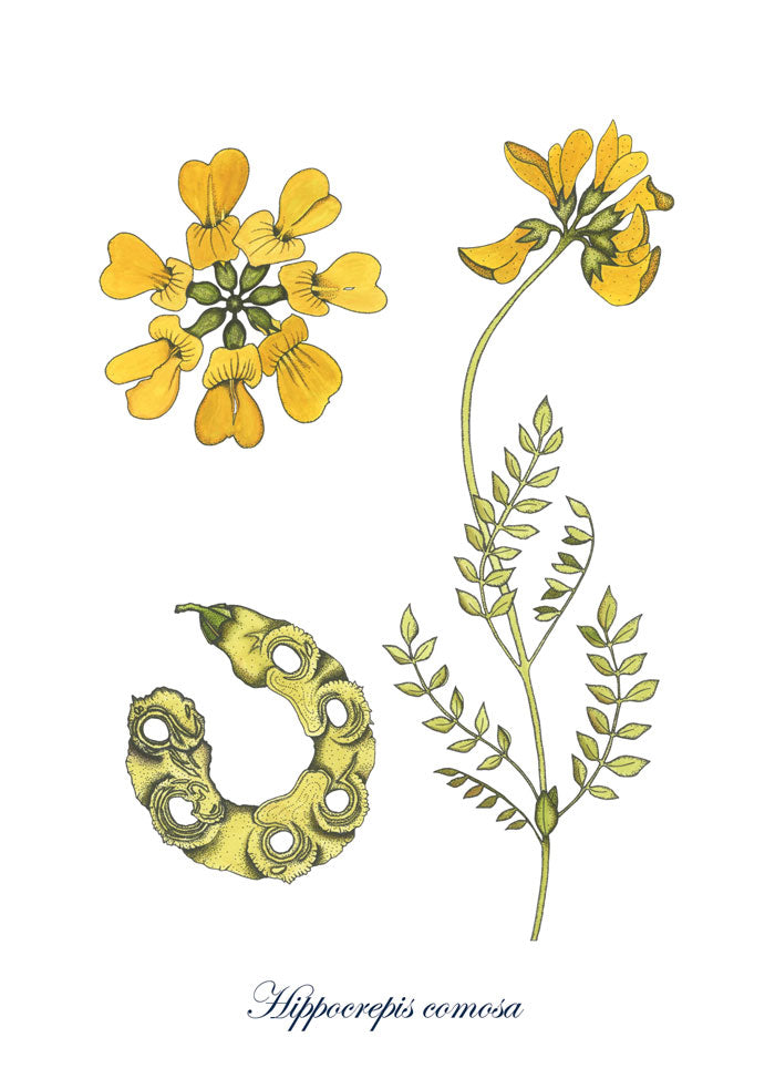 Watercolour and ink illustration of the horseshoe vetch flower with yellow petals sitting above the genus name in script