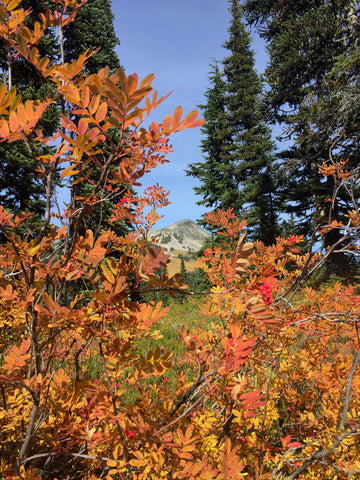 Fall leaves in Garibaldi Provincial park