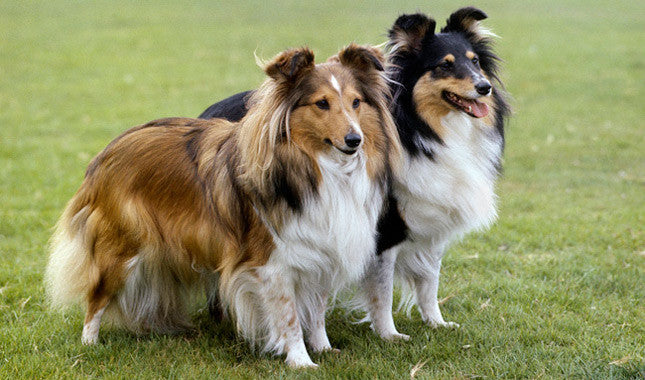 shetland sheepdog hunderace loyal god race