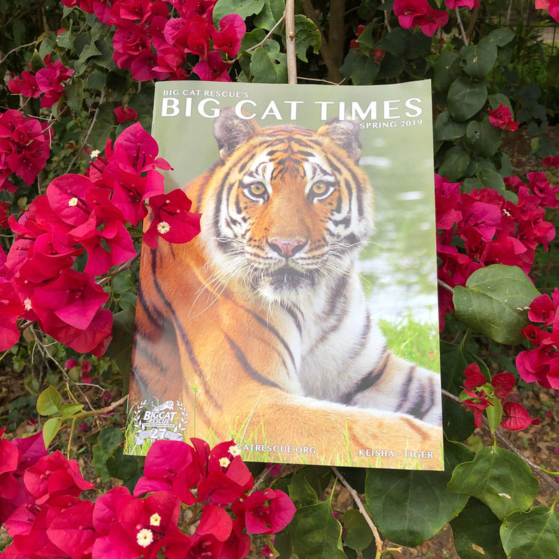 Check out the Big Cat Times