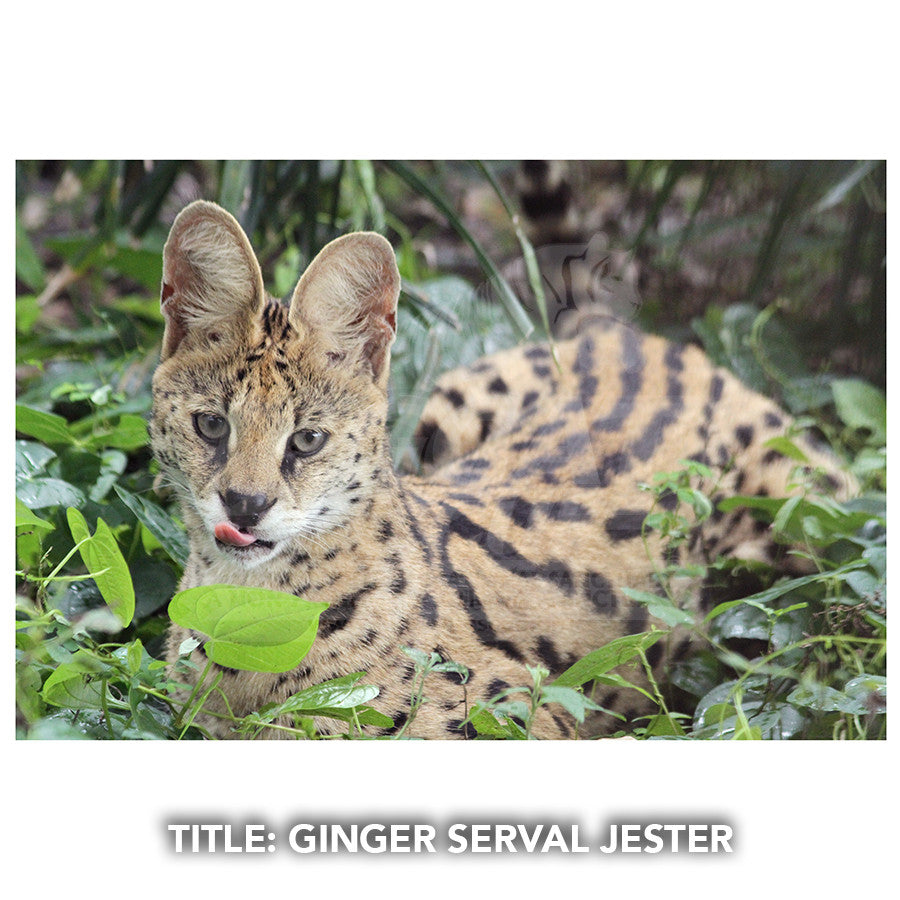 Matted Photo - Ginger Serval Jester