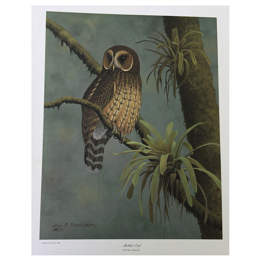 Print - Mottled Owl by Don R. Eckelberry