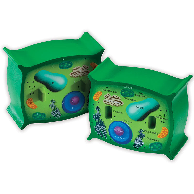 PLANT CELL CROSSSECTION MODEL