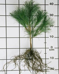 white pine seedling