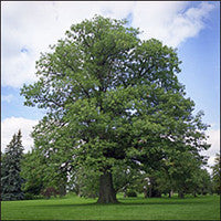 Red Oak (Quercus rubra)