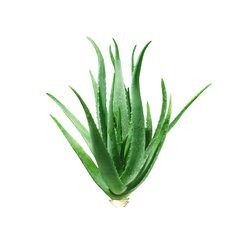 Aloe Vera - The Hangover Solution Ingredient