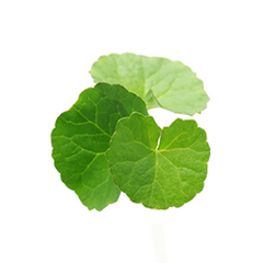 Gotu Kola - The Hangover Solution Ingredient