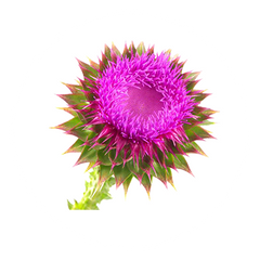 Milk Thistle - The Hangover Solution Ingredient