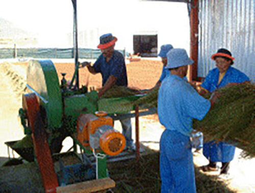 Four of Cape De Hoop's workers, dressed in blue, are putting the harvested rooibos tea plant leaves through the cutting process at the tea plantation, using a large green cutting machine.