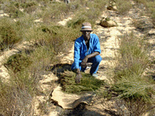 One of Cape De Hoop's workers, dressed in blue overalls and a hat, harvesting a rooibos tea plant at their tea plantation.