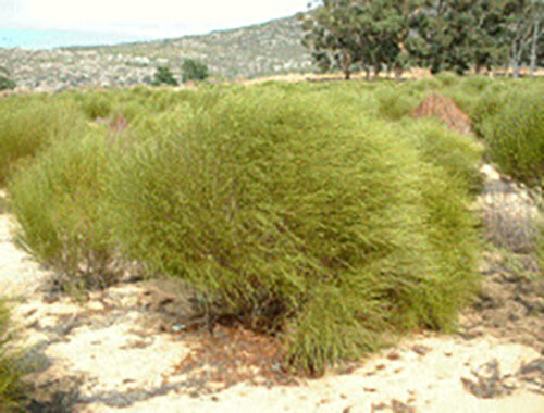 A mature rooibos bush plant, which is a large, green and bushy plant planted on one of Cape De Hoop's farms, with blue skies and other plants and vegetation in the background.