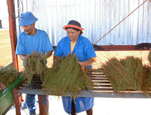 Two of Cape De Hoop's workers, dressed in blue, are preparing rooibos tea plants for cutting after harvesting on their plantation.