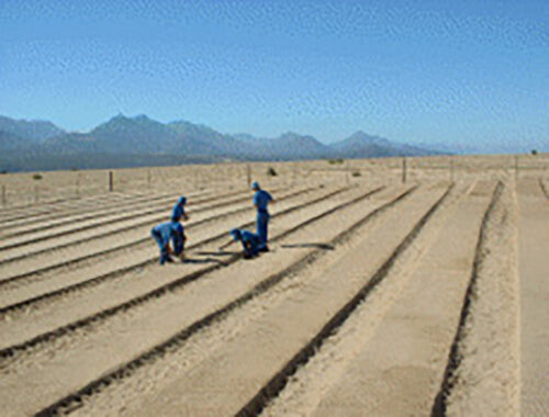 A sunny day with bright blue skies at one of Cape De Hoop's tea farms where four workers dressed in blue are preparing rooibos tea seedlings on their farmland, with mountains in the distance.