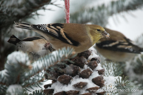 American Goldfinch on Pinecone Birdseed Ornaments by Jennifer Ditterich Designs