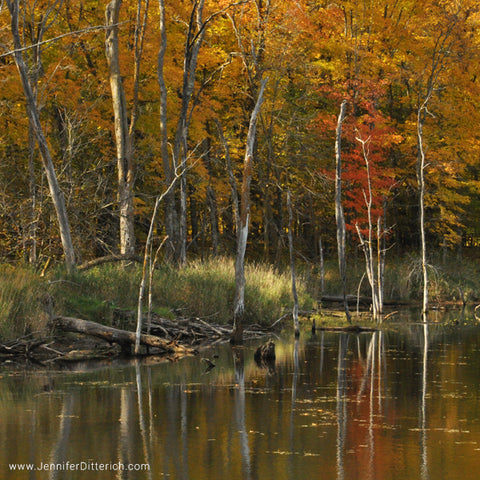 Birch Trees by an Autumn Lake by Jennifer Ditterich