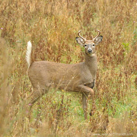 Whitetail Buck in Autumn