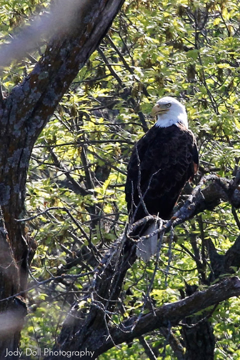 Bald Eagle by Jody Doll