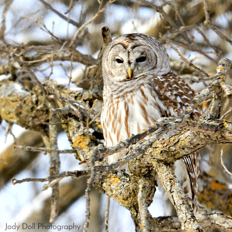 Barred Owl by Jody Doll Photography