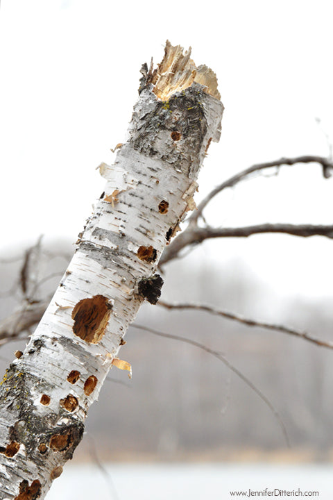 Birch Tree with Woodpecker Holes