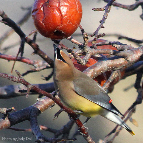 Plant berries to attract birds to your yard