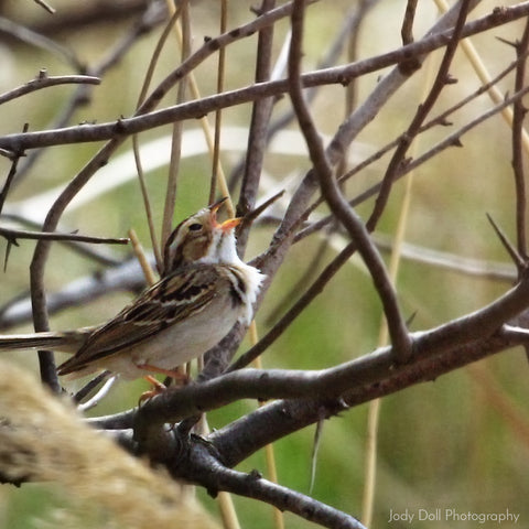 Clay-Colored Sparrow by Jody Doll
