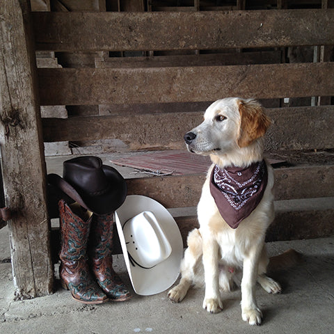 Cowboy dog in barn