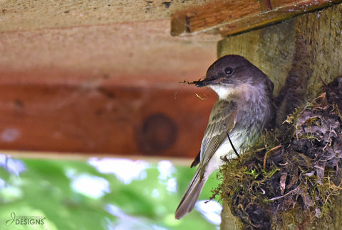 eastern phoebe building a nest