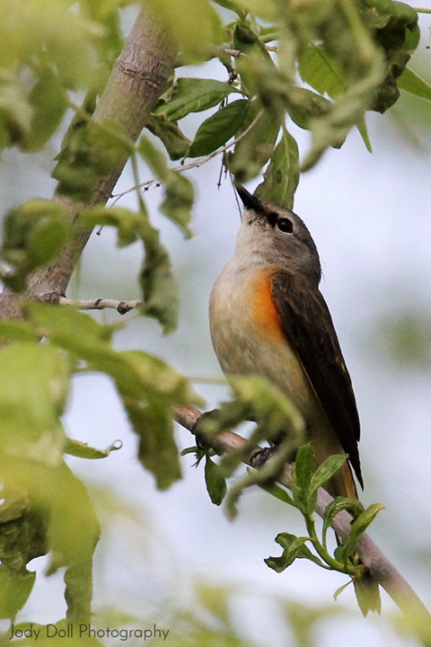 Female American Redstart by Jody Doll