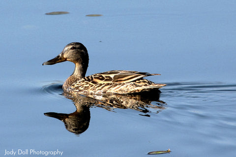 Female Blue-Winged Teal by Jody Doll