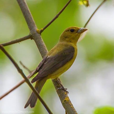 Female Scarlet Tanager by Jennifer Ditterich