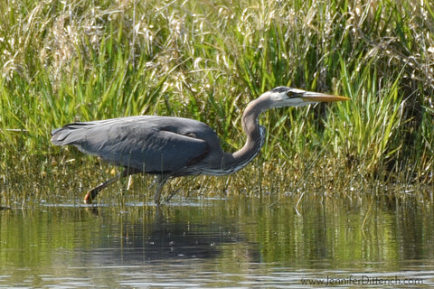 Great Blue Heron by Jennifer Ditterich