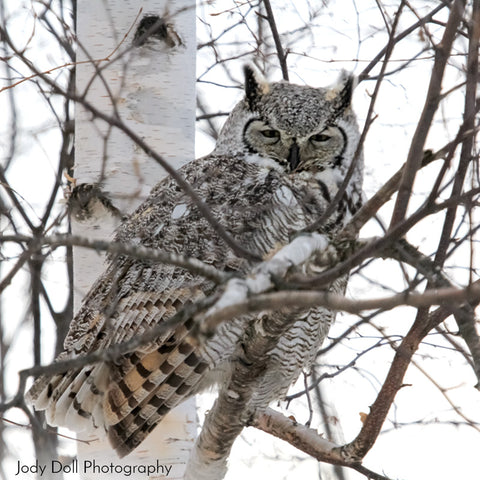 Great Horned Owl by Jody Doll Photography
