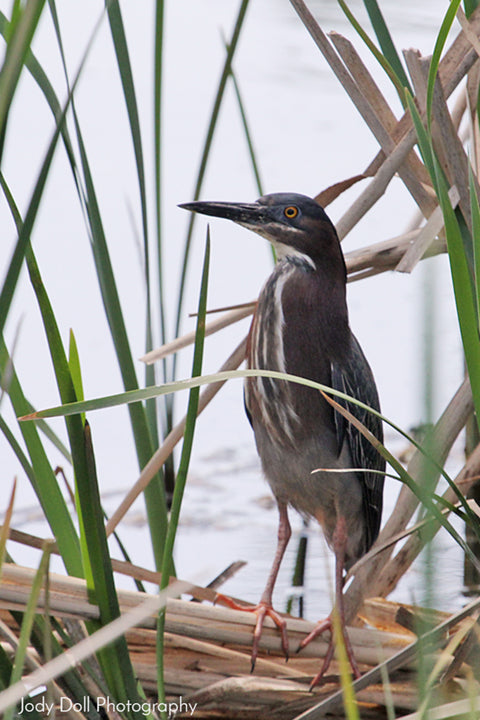 Green Heron by Jody Doll