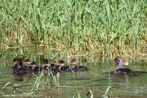 Hooded Merganser Chicks by Jennifer Ditterich
