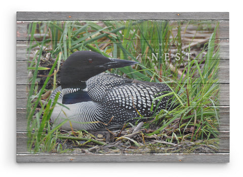 Loon-on-nest-picture