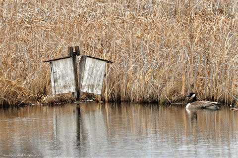 Neighborhood watch Canada Goose by Wood Duck Houses