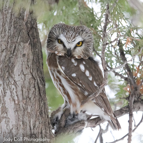 Northern Saw-Whet Owl by Jody Doll Photography