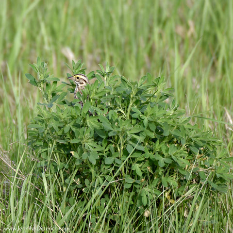 Savannah Sparrow by Jennifer Ditterich