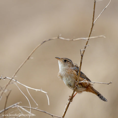 Sedge Wren by Jennifer Ditterich