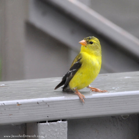 Goldfinch-Sign-of-Spring