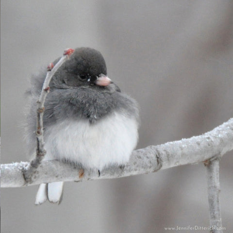 Winter-Junco-Jennifer-Ditterich-Designs