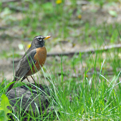 Robins-Arrive-in-Spring
