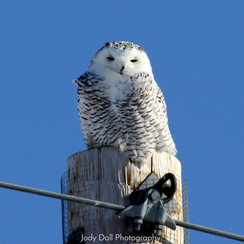 Snowy Owl by Jody Doll Photography